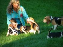 elevage chien, beagles, Elevage de Maxcecan