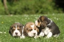 Elevage de Maxcecan, Elevage Beagle, chiots